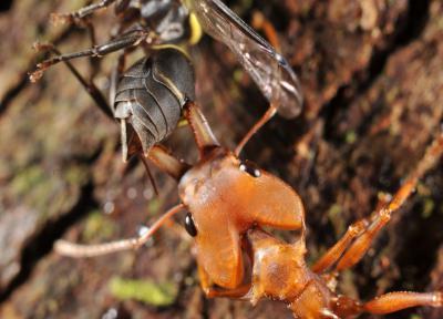 Canopée fourmis
