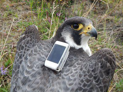 Falcon with tracker
