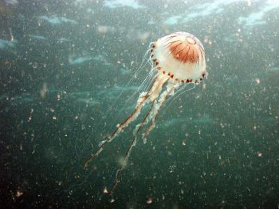Jellyfish - Alain Norro
