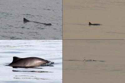 Linksboven: Kleinste potvis (foto Hannah Jones; niet het dier van 22 januari 2017), linksonder: bruinvis (foto Peter Evans). Rechts: beelden van het dier van 22 januari 2017 door Bart Van Gelder, An Ceulemans, Bram Conings, Jean-Paul Théâtre.