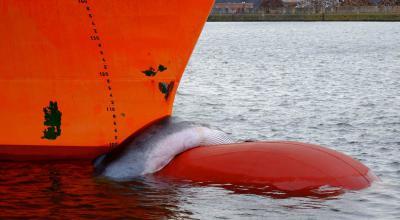 Gewone vinvis op het voorsteven van het schip (J.Haelters, OD Nature).