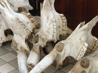 Crânes dans les collections de vertébrés