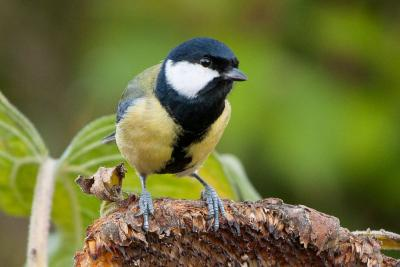 Mésange charbonnière (Parus major), photo: Thierry Hubin/IRSNB