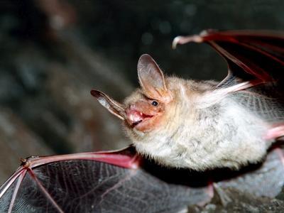 Une chauve-souris en vol (photo : Thierry Hubin)