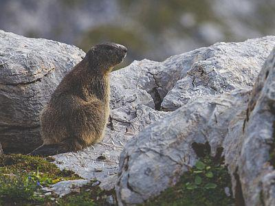 Marmotte (photo Niklas Tidbury)