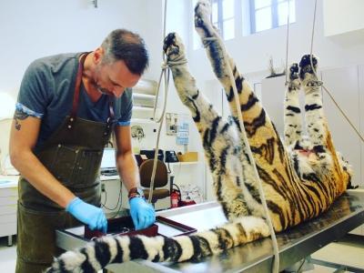 Notre taxidermiste Christophe De Mey préparant un tigre pour une exposition (photo : Thierry Hubin, IRSNB)