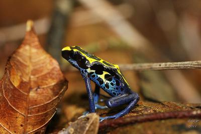 Grenouille dendrobate (photo : Ronan Follic)