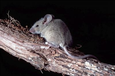 souris Mus musculus (photo : Thierry Hubin / IRSNB)