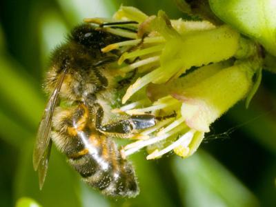 abeille butineuse