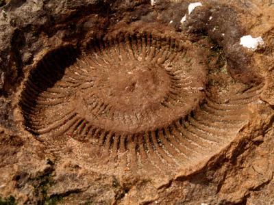 Evolutie galerij: ammonite