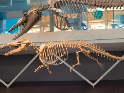 animation évolution - Dorudon (en haut) et Maiacetus