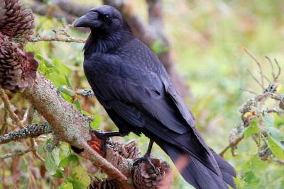 Femelle corbeau adulte (copyright : Bombtime)