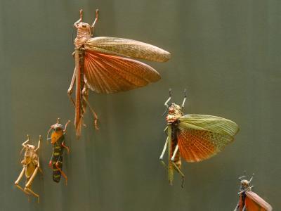 Salle des Insectes - criquets migrateurs