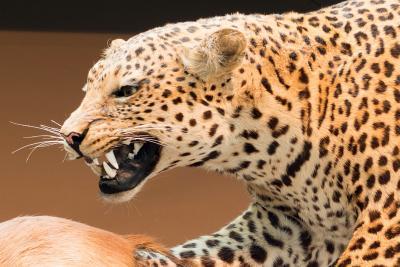 Léopard Panthera pardus exposé dans la Galerie de l'Évolution (photo : Thierry Hubin, IRSNB)