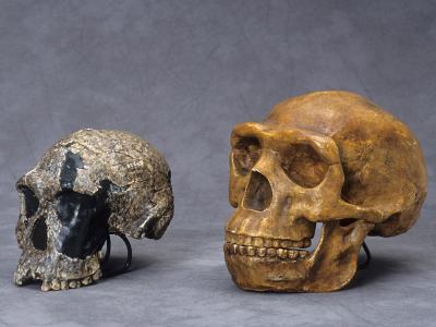 schedels van Homo rudolphensis - Homo erectus (foto: Thierry Hubin, KBIN)