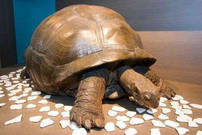 reuzenschilpad tentoongesteld in de zaal 250 Jaar Natuurwetenschappen (foto: Thierry Hubin, KBIN)