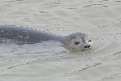 Een zeehond in de Noordzee (foto: Thierry Hubin / KBIN)