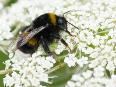 Bourdon Bombus terrestris (photo: Thierry Hubin, IRSNB)