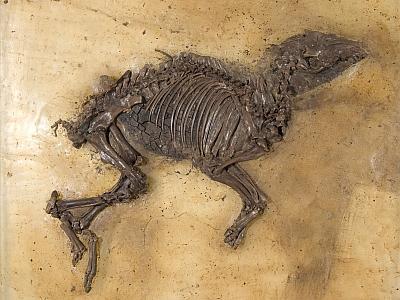 Eurohippus messelensis, het fossiele paardje van Messel (foto: Thierry Hubin / KBIN)