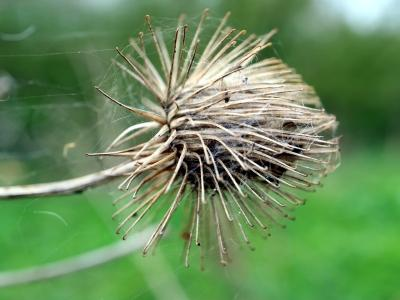 Macro photograph of a single Arctium bur. The sharp hook structures are clearly visible. Photo: Prosthetic Fead