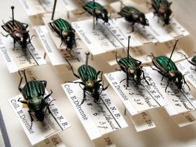 Les coléoptères Carabus (hemicarabus) nitens dans nos collections (photo : Thierry Hubin / IRSNB)