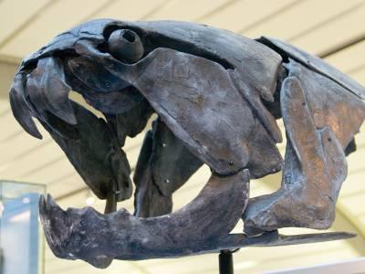 Skull of Dunkleosteus marsaisi