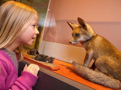une jeune visiteuse nez à nez avec un renard naturalisé (photo : Thierry Hubin, IRSNB)
