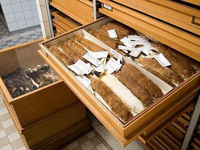 tiroir avec peau de mammifères dans nos conservatoires