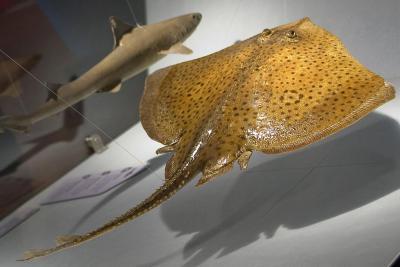 Een toonhaai en een gemarmerde sidderrog in een vitrine van de tentoonstelling