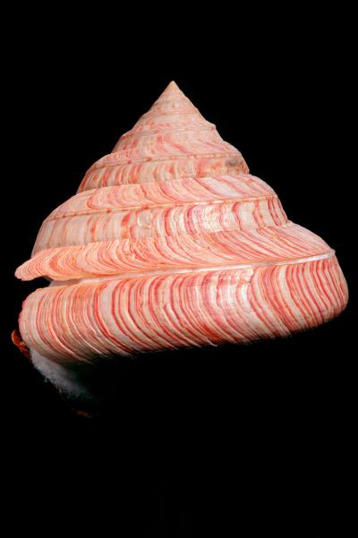 Entemnotrochus rumphii has a spiral shell with a wide base whose diameter can sometimes reach up to 30 cm.