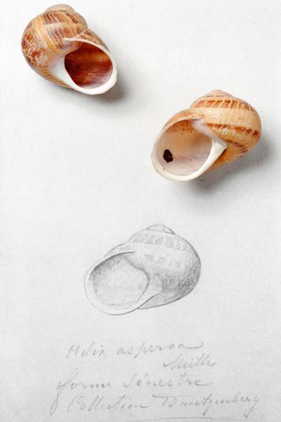 Deux spécimens de 'Helix aspersa aspersa': l'un avec une coquille dextre (de la pointe à l'ouverture, elle est enroulée dans le sens des aiguilles d'une montre) et l'autre avec une coquille sénestre