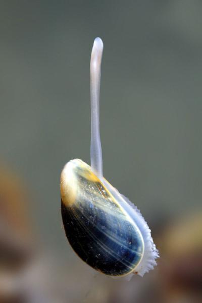 Une moule et son pied à la base duquel une glande fabrique les filaments de byssus grâce auxquels elle se fixe sous l'eau