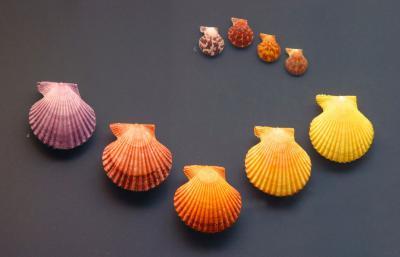 Ensemble de pectens allant du jaune au mauve, en passant par l'orange, présentés dans la Salle des Coquillages