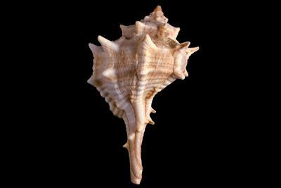 Een soort van Muricida tentoongesteld in de Schelpenzaal