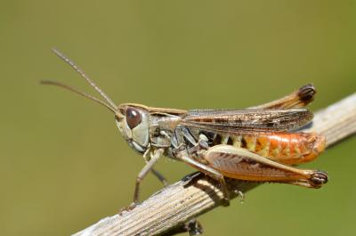 Gone, but now back in full force in Bruges heathlands: the lesser mottled grasshopper (Stenobothrus stigmaticus), one of the eight heathland indicator species. (Photo: Gilles San Martin, Wikimedia Commons)