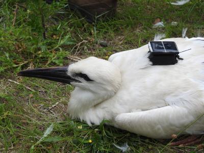 Jonge ooievaar die eind juni 2019 in het Zwin werd uitgerust met een GPS zender (© Zwin Natuur Park)