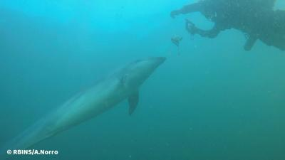 Un grand dauphin cherche la compagnie des plongeurs, 26 février 2021, partie belge de la mer du Nord (© IRSNB/A. Norro)