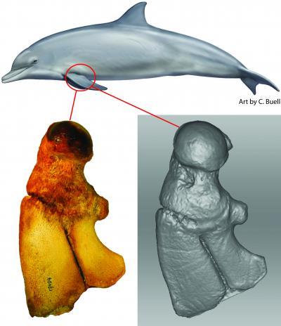 Flipper bones of the bottlenose dolphin Tursiops, with 3D model