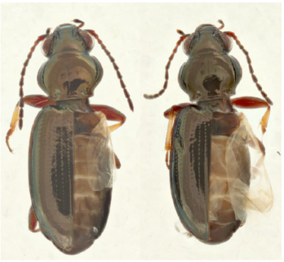 Wing dimorphism in the carabid beetle Bembidion properans.