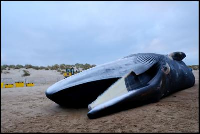 De gewone vinvis op het strand van De Haan (Beeld: KBIN)