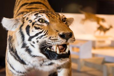 Un des tigres exposés dans « WoW – Wonders of Wildlife », qui appartiennent tous à l'espèce Panthera tigris tigris. (photo : Thierry Hubin, IRSNB)