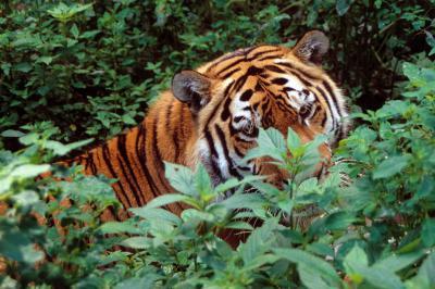Les tigres – ici, un tigre de Sibérie, Panthera tigris altaica – sont repris sur la Liste rouge de l'IUCN. (photo : Thierry Hubin, IRSNB)
