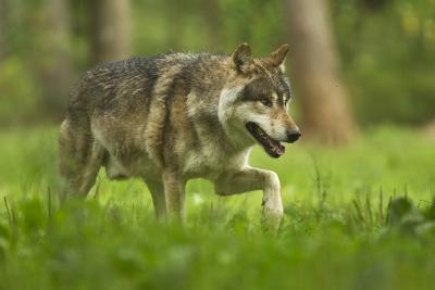 Canis lupus, de wilde wolf (foto: Domein van de grotten van Han)