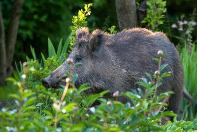 Sus scrofa scrofa, das europäische Wildschwein (Foto: Jerzy Strzelecki)