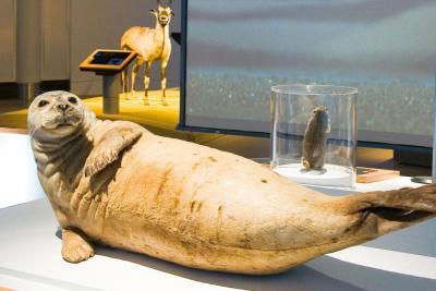 Dank ihrer fast fünf Zentimeter dicken Fettschicht, die sich direkt unter der Haut befindet, wird den Seehunden selbst im eisigen Meerwasser nicht kalt.