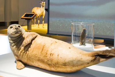 Grâce à une couche de graisse de près de cinq centimètres d'épaisseur sous la peau, les phoques restent bien au chaud, même si l'eau de mer est glacée.