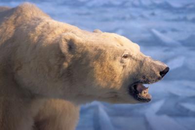 C'est la morphologie massive de l'ours polaire (Ursus maritimus) qui lui permet de conserver efficacement sa chaleur corporelle.