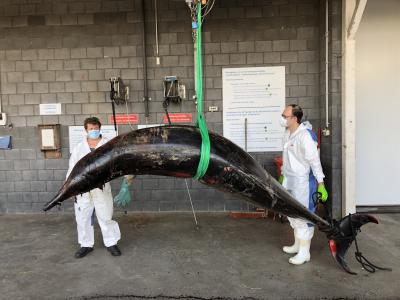 Arrivée du baleine à bec de Sowerby de Nieuport et Wenduine à la faculté de médecine vétérinaire de Merelbeke, le 8 août 2020. Image: IRSNB/J. Haelters