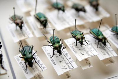 Carabid beetles (Photo: Thierry Hubin, RBINS)