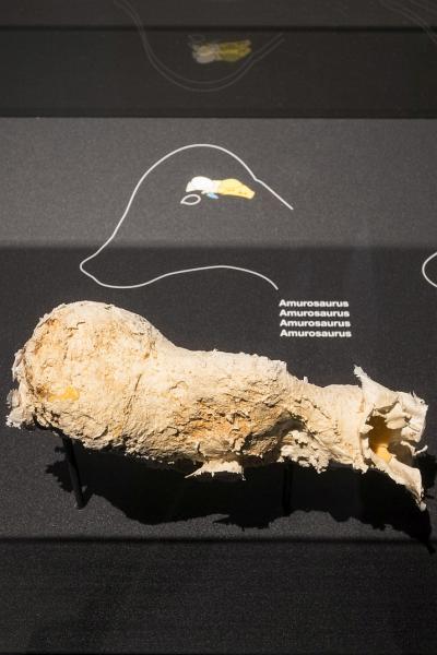 Afgietsel van de schedelinhoud van Amurosaurus, een specimen uit onze Galerij van de Dinosauriërs